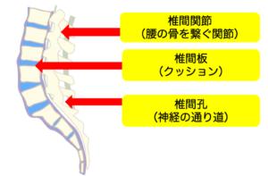 腰痛の原因解説のための解剖図
