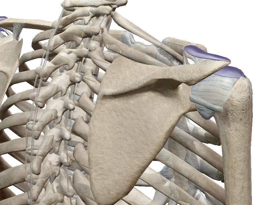 肩を上げるための肩甲骨の大事な役割